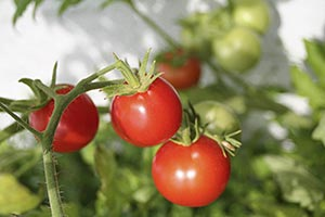 sweet tomatoes growing in a garden